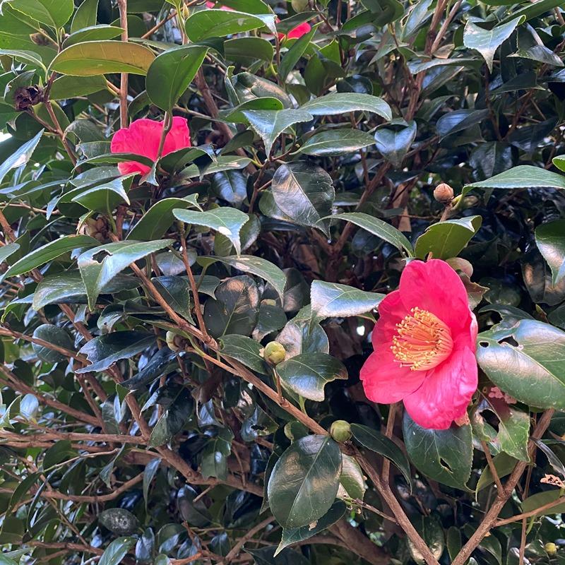 楚人冠が好んだ椿の花