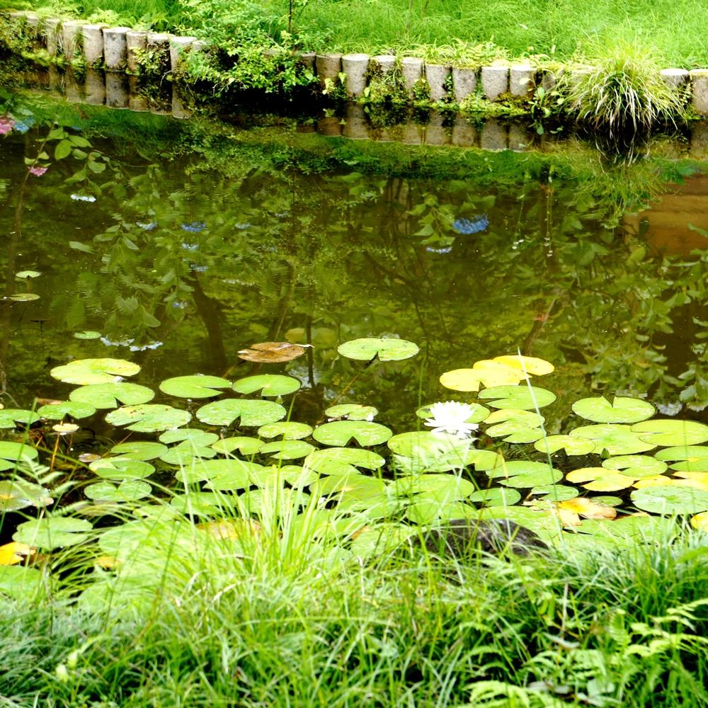 弁天池の蓮の花