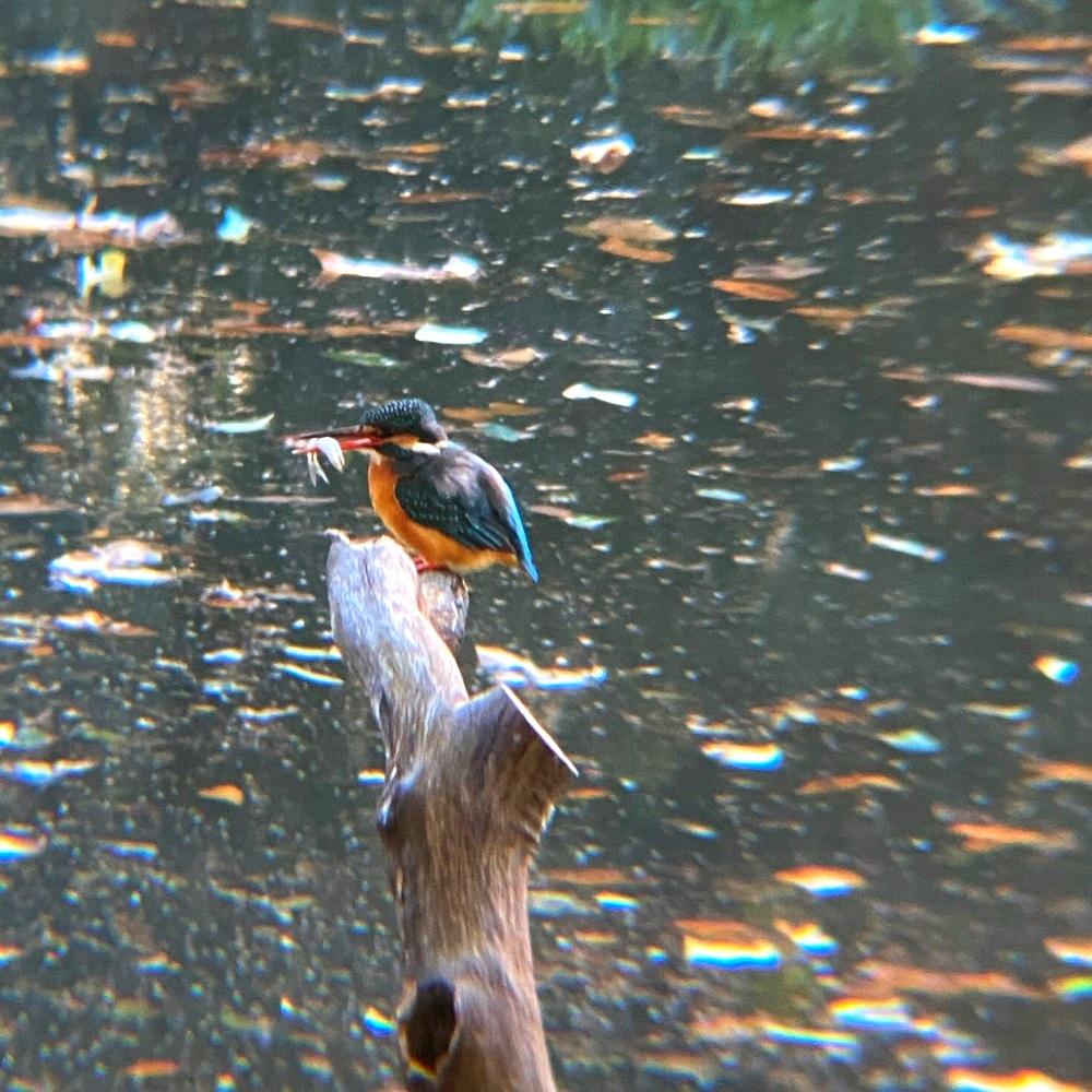 カワセミ池のカワセミ