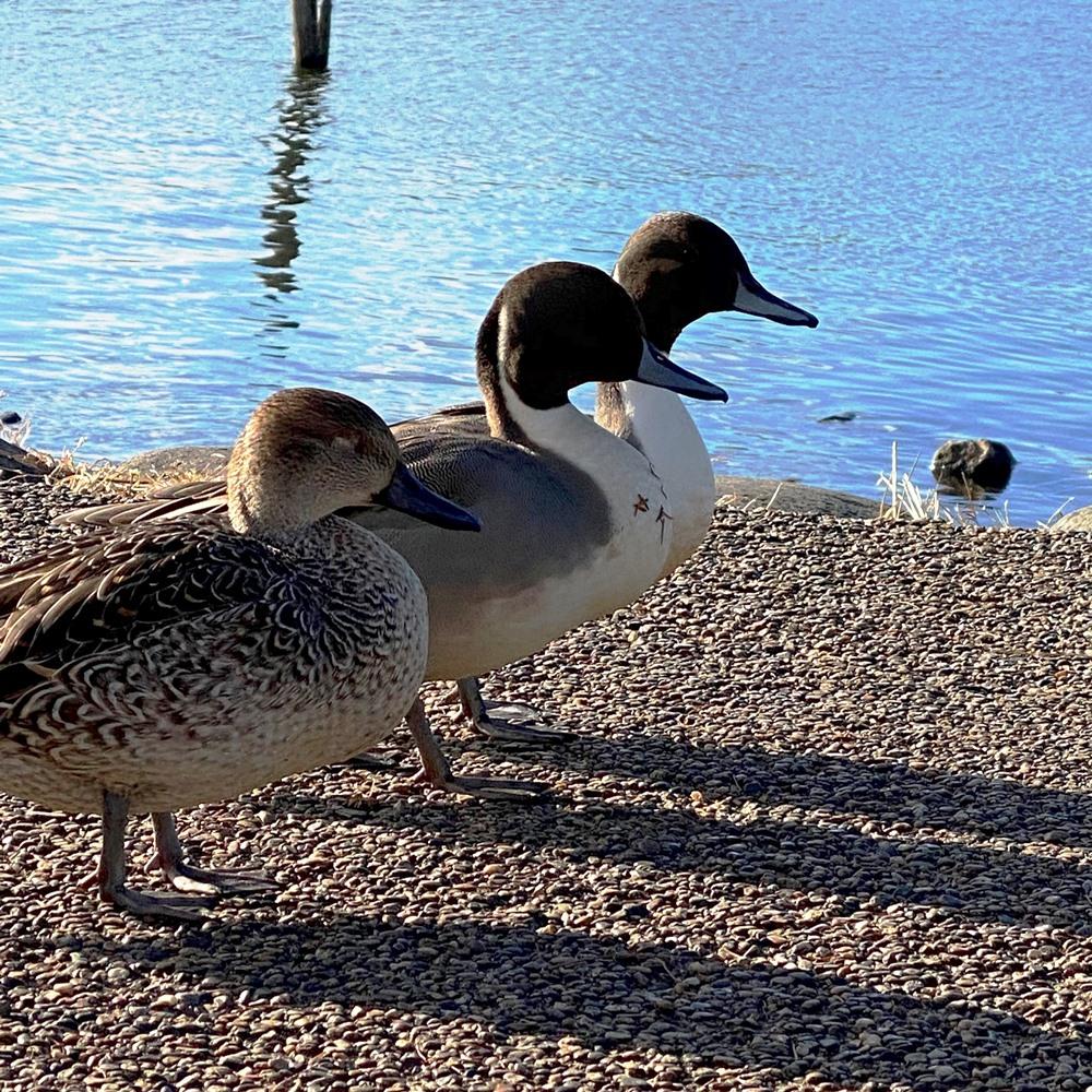 手賀沼公園ふれあい岸辺の鳥たち