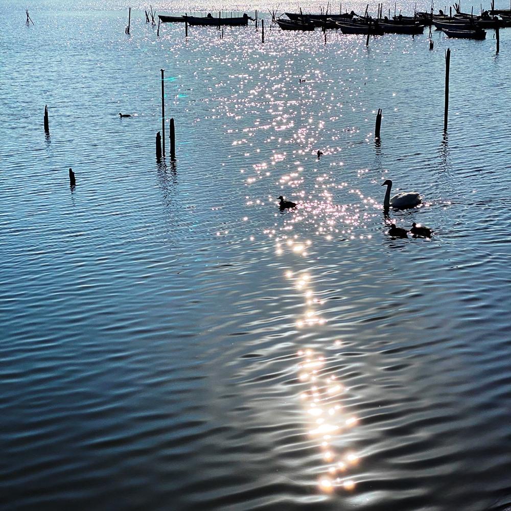 手賀沼公園泳ぐ鳥たち