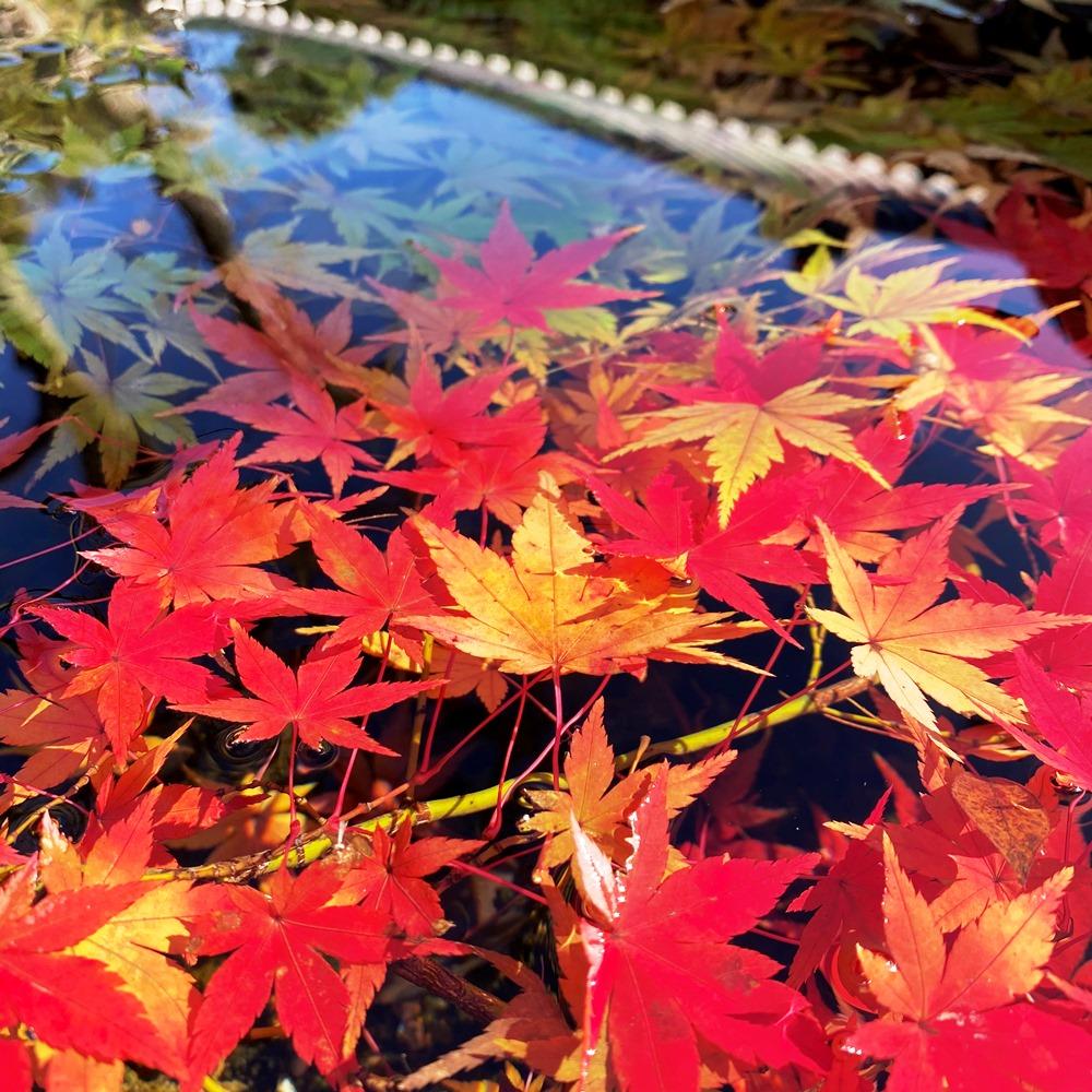 手水鉢の葉っぱ