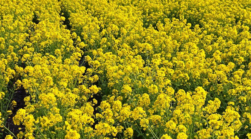 手賀沼の菜の花畑