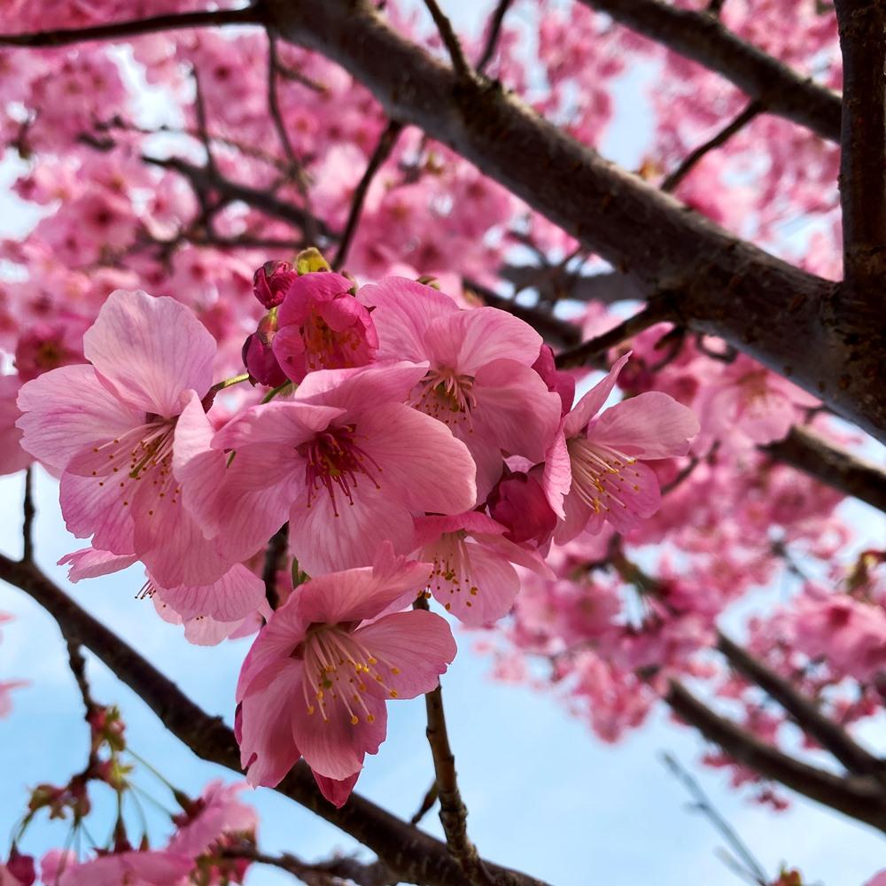 高野山桃山公園の陽光桜