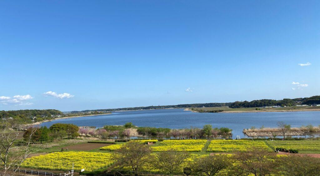 手賀沼水生植物園菜の花畑(高野山桃山公園から)