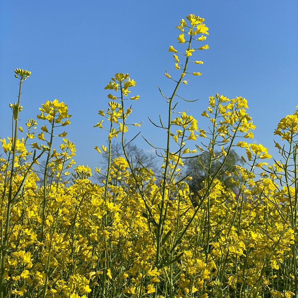 手賀沼水生植物園菜の花畑
