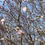 高野山桃山公園のゲンペイモモ